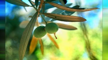 Evde zeytin nasıl yapılır