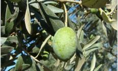 Zeytin yaprağının faydaları