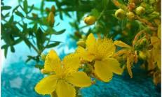 Sarı kantaron faydaları ve sarı kantaron yağı